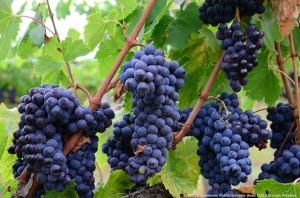 Consulente di export di vino