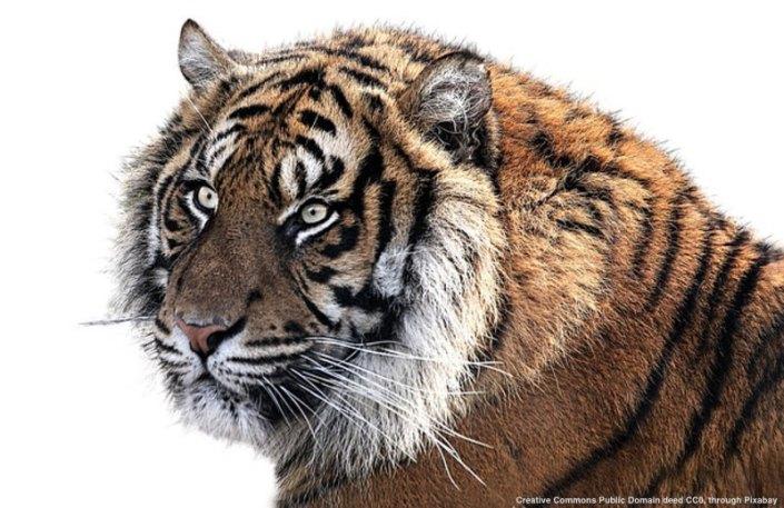 La tigre e' stata liberata all'epoca dello scontro tra Obama e Trump dopo le elezioni USA